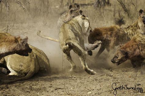 Film Lion Vs Hyena | battle for buffalo hyenas take on lions in an epic show