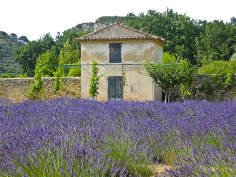 when is lavender in season in michigan while waiting for provence s lavender season enjoy those