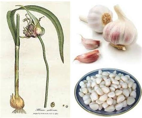 garlic for dogs ottawa valley whisperer garlic for dogs health benefits preparation use