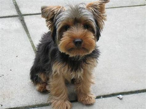 house a yorkie puppy how to potty a terrier pets