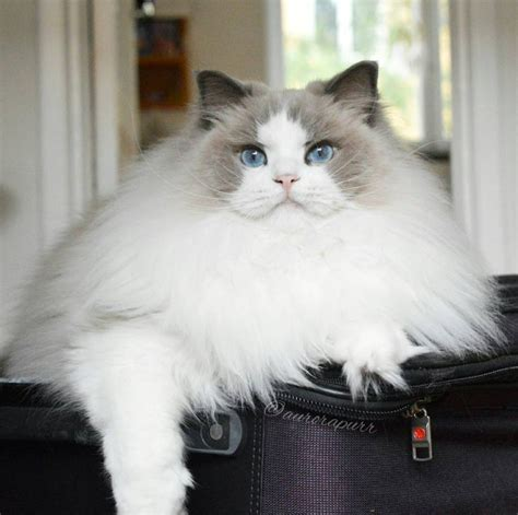ragdoll cat size ragdolls by simon s cat