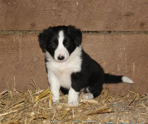 puppies for sale in michigan craigslist family raised border collie pups craigspets