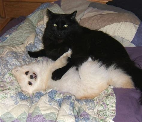 pomeranian with cats white pomeranian puppy with cat friend jpg hi res 720p hd