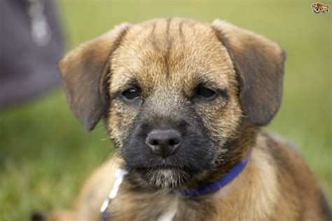 popular puppies the top ten most popular registered breeds in the uk pets4homes