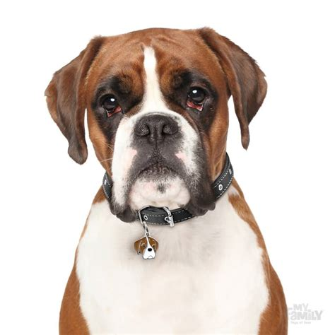 brown boxer puppy amazing brown boxer pic golfian