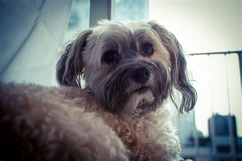havanese disposition the top ten laziest breeds puppy leaks