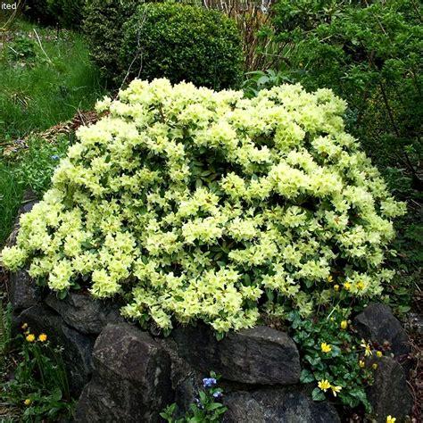 hardy flowering evergreen shrubs 1 x rhododendron shamrock evergreen bushy shrub hardy