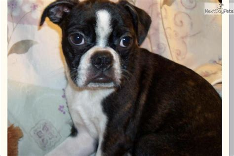frenchton puppies florida frenchton puppies for sale in florida breeds picture