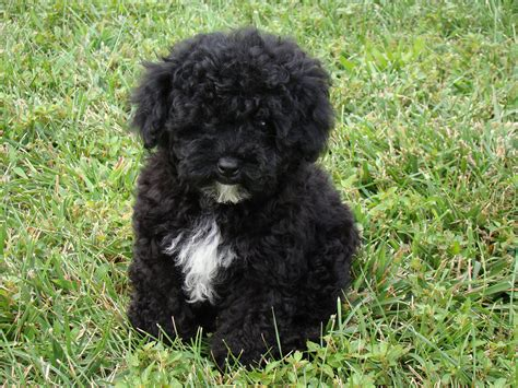 havanese poodle mix puppies10