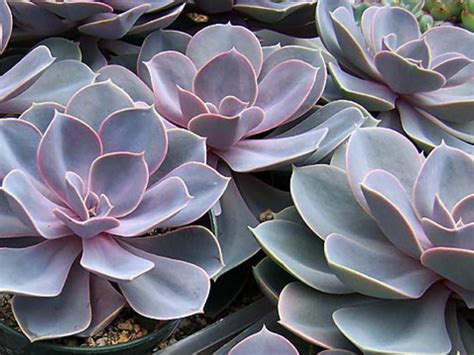 echeveria perle von n 252 rnberg world of succulents