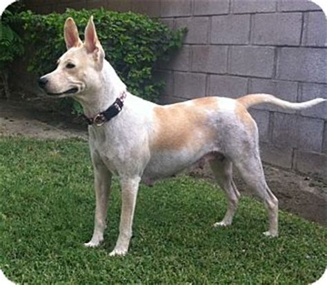 german shepherd cattle mix adopted cathedral city ca australian cattle german shepherd mix