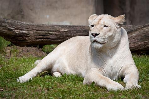 white lion backgrounds hd pixelstalknet