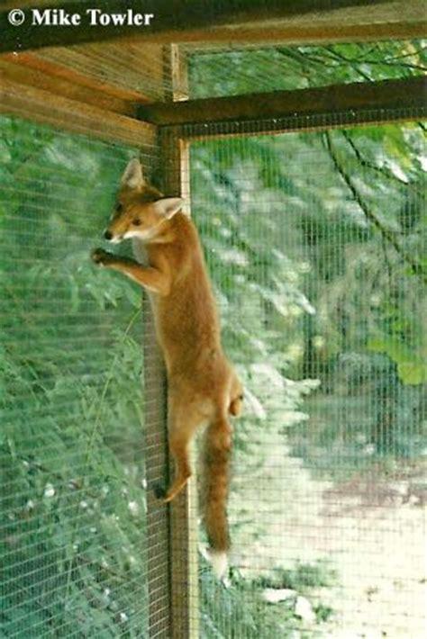 fox proofing   read  fencing chickens backyard