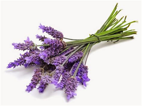 the herb hound lavender