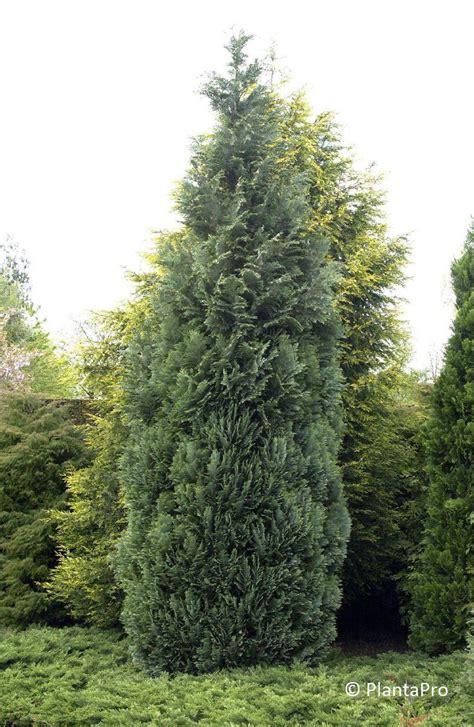 Bambus Als Heckenpflanze 834 by Chamaecyparis Lawsoniana Columnaris Nadelgeh 246 Lze
