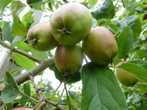 nc fruit trees 15 tree fruit and nuts nc state extension publications