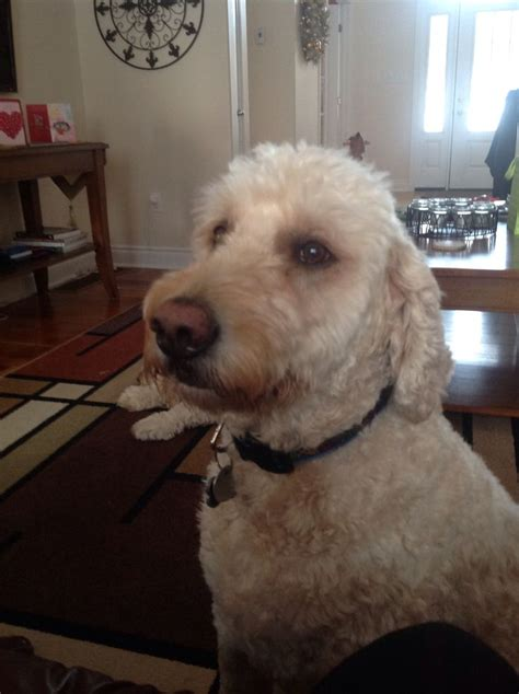goldendoodle puppy eats everything she wanted the donut i was glorious