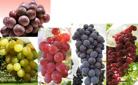 2 Biji Benih Buah Anggur Mix 2 Warna 3 manfaat tersembunyi dari buah anggur info