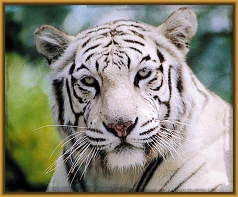Imagenes Fondo De Pantalla Tigre   imagenes para fondo de pantalla de tigres archivos fotos