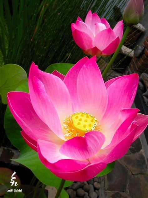 wallpaper bunga lotus tattoo bunga lotus dan filosofinya think do