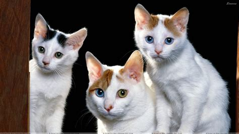 Inidia Cat 23 three white cats looking sweet wallpaper