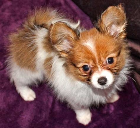 papillon puppies for sale in florida papillon puppy for sale in south florida
