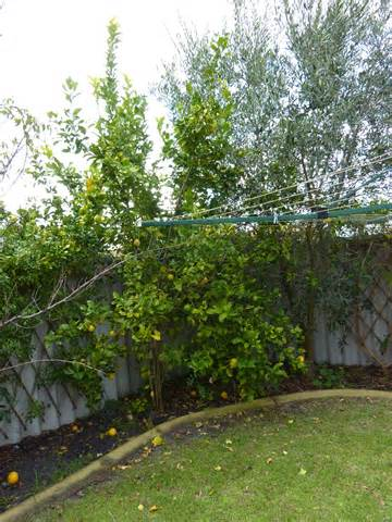 when prune fruit trees when to prune fruit trees gardening gals perth