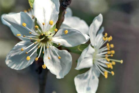 fiori di susino giardini