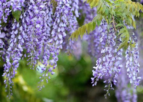 wisteria flower wisteria how to plant grow and care for wisteria vines