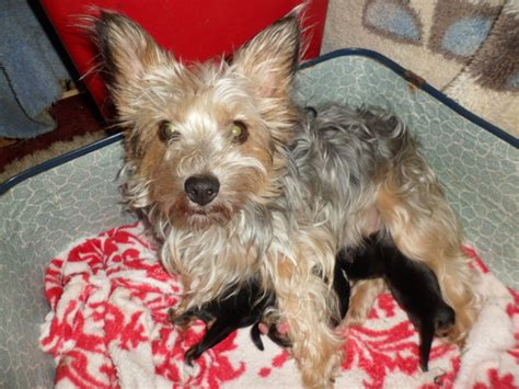yorkie dogs for sale terriers puppies for sale brigg lincolnshire pets4homes