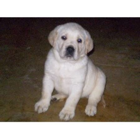 white lab puppies for sale in nc chocolate lab puppies for sale in west virginia breeds picture
