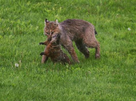 how to get rid of a groundhog in my backyard community how to get rid of a woodchuck without really
