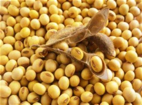 Kacang Kedelai 2 manfaat dan kandungan makanan