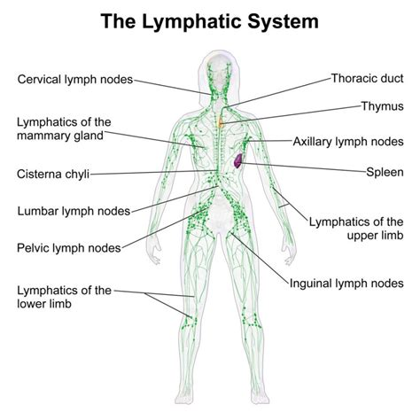 diagram of lymphatic system lymphatic system diagram diagram site