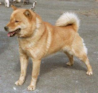 Ainu Dog or Hokkaido Dog