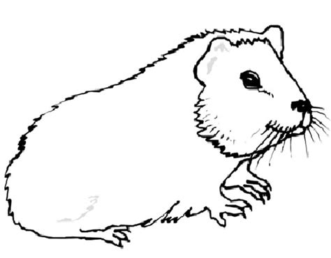 coloring page guinea pig guinea pig coloring pages coloring home