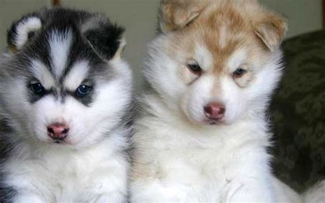 baby husky husky baby 1440x900 wallpapers husky 1440x900 wallpapers pictures free