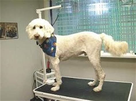 do golden retrievers need haircuts goldendoodle haircuts styles www proteckmachinery