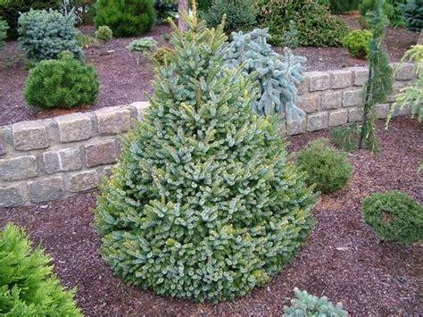 albero da giardino sempreverde piante sempreverdi da giardino piante da giardino