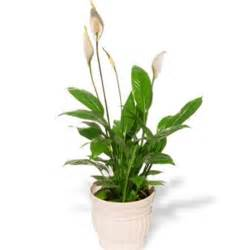 peace lily from post a rose com indoor plants house