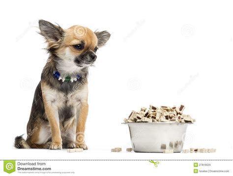 chihuahua dog eating food from a bowl royalty free stock chihuahua sitting next to bowl of food royalty free stock