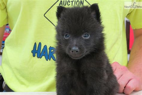 schipperke puppy for sale schipperke puppy for sale near chicago illinois f80bde4d 0fc1 breeds picture