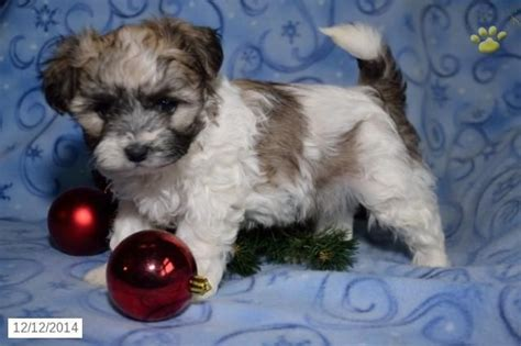 shichon puppies for sale in ohio the 25 best shichon puppies for sale ideas on teddy pics