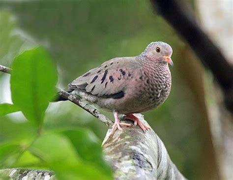 eurasian collared dove life expectancy