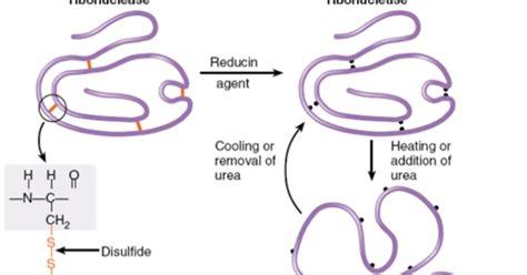 t protein ur random protein folding anfinsen s experiment biology exams 4 u