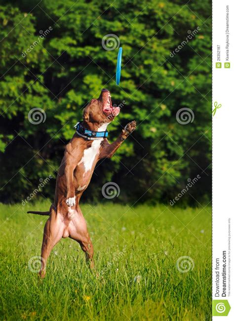 catching frisbee pitbull catching frisbee royalty free stock photography image 26352187