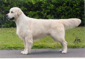 golden retriever forum uk golden retrievers page 14 golden retrievers golden retriever forums