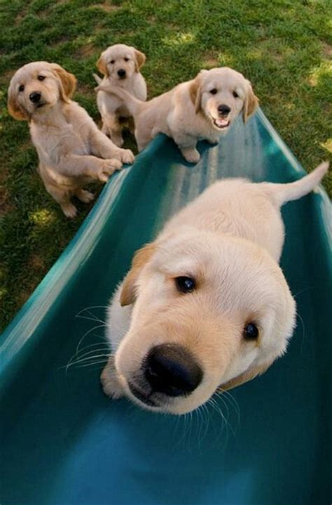 best dryer for golden retrievers 1000 ideas about retriever puppies on pups baby dogs and