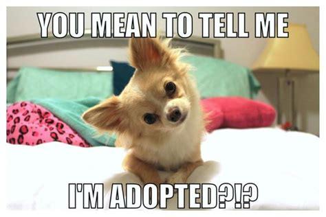 Funny Chihuahua Memes - funny puppy meme jaxon the chihuahua pinterest funny