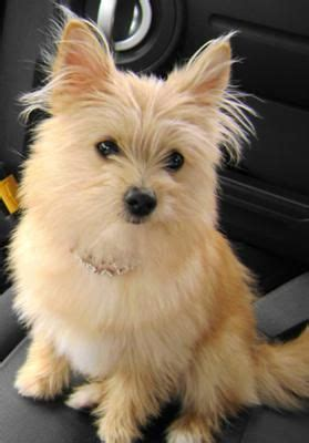 terrier mixed with pomeranian yoranian yorkie pomeranian mix info and pictures